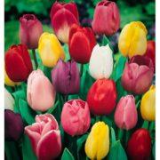 bulbos-tulipan-darwin-mezcla