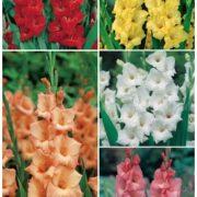 gladiolos-yumbo-gls-4-cal16