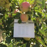 magnet_apples