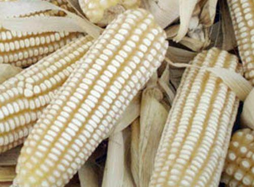 Maiz Blanco HF1- Ideal Barbacoas